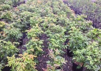 Mahonia aquifolium 3 gal