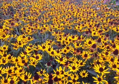 Rudbeckia Little Gold Star 1 gal