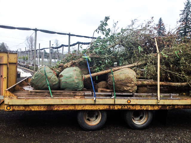 Rescued Quercus and Arbutus on our trailer