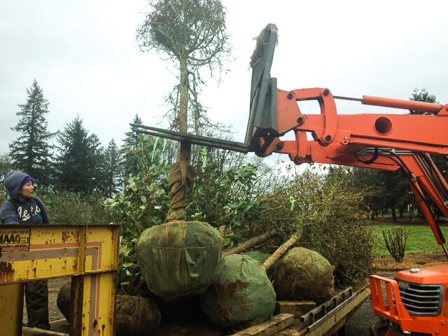 Carefully removing the trees from the trailer with the forklift and a strong fabric belt