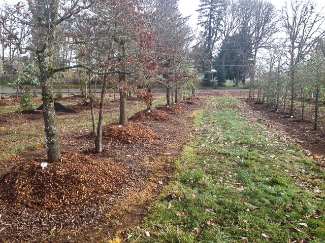 An irrigation drip line will be added to each tree and the water carefully monitored