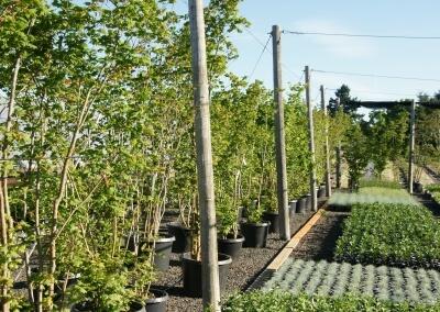 8-12' Acer circinatum (Vine maple)