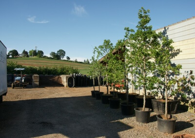 containerized Quercus garryana (Oregon White Oak)