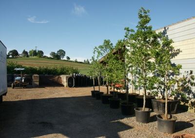 Collected containerized Quercus garryana (Oregon White Oak)